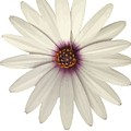 African Daisy With White Petals by Taiche Acrylic Art