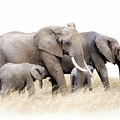 African Elephant Group Isolated by Jane Rix