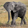 African Elephant Happy And Free by Gill Billington