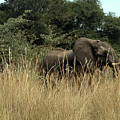 African Elephant In Tall Grass by Karen Zuk Rosenblatt