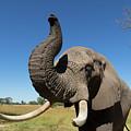 African Elephant by Murdoch Campbell