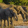 African Elephant  by Myer Bornstein