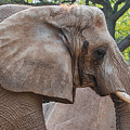 African Elephant by Susan McMenamin