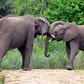 African Elephants Interacting by Richard Bryce and Family