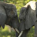 African Elephants Loxodonta Africana by Joel Sartore