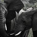 African Elephants by Steve Evans