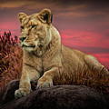 African Female Lion In The Grass At Sunset by Randall Nyhof