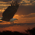 African Fish Eagle At Sunset  by Larry Linton