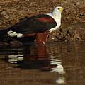 African Fish Eagle by Myrna Bradshaw