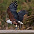 African Fish Eagle by Sergey  Krasnoshchekov