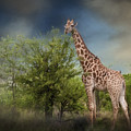 African Giraffe by Maria Coulson