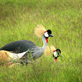 African Gray Crown Crane by Joseph G Holland