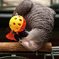 African Grey Playing With A Toy by Jill Lang