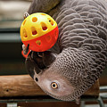 African Grey With Ball by Jill Lang