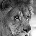 African Lion #8 Black And White by Judy Whitton