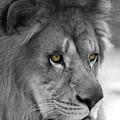 African Lion #8 Black And White  T O C by Judy Whitton