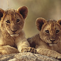 African Lion Cubs Resting On A Rock by Tim Fitzharris