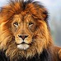 African Lion 1 by Ellen Henneke
