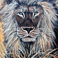 African Lion by Nick Gustafson