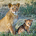 African Lion Panthera Leo Family by Panoramic Images