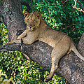 African Lion Panthera Leo On Tree, Lake by Panoramic Images
