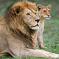 African Lion Panthera Leo With Its Cub by Panoramic Images
