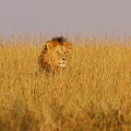 African Lion by Quazi Ahmed Hussain