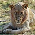 African Lion by Robert Shard