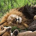 African Lion Sleeping In Serengeti by RicardMN Photography