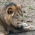 African Lion by Tom Mc Nemar