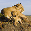 African Lion With Mother's Tail by Suzi Eszterhas