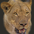 African Lioness Tee by Larry Linton