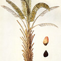 African Oil Palm by Granger