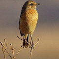 African Stone Chat Female by Suzanne Morshead