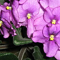 African Violets by Barbara Yearty