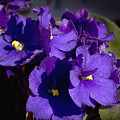 African Violets by Phyllis Denton