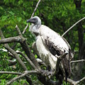 African Vulture by George Jones