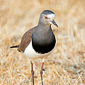 African Wattled Lapwing Vanellus by Panoramic Images