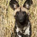 African Wild Dog Okavango Delta Botswana by Suzi Eszterhas
