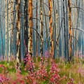 After Forest Fire by E Colin Williams ARCA