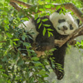 Afternoon Nap Baby Panda by Bill McEntee