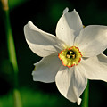 Afternoon Of Narcissus Poeticus. by Elena Perelman