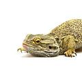 Agama Lizard  by Jaroslav Frank