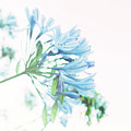 Agapanthus 1 by Cindy Garber Iverson