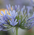 Agapanthus Africanus - Lily Of The Nile 2 by Carolyn Parker