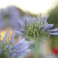 Agapanthus Africanus - Lily Of The Nile by Carolyn Parker