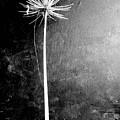 Agapanthus Black - White Photo by VIVA Anderson