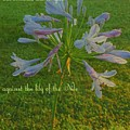Agapanthus Dawn by Pamela Smale Williams