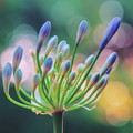 Agapanthus Dawn by Terry Davis