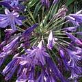 Agapanthus Flowers In Purple - New And Old by By Divine Light